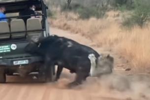 Буйвол врезался в машину, спасаясь от львов: видео