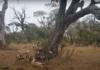 Битва за антилопу: на ринге леопард, африканские собаки и гиены (видео)