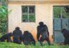 Голодные обезьяны разоряют поля и убивают детей: шимпанзе-убийцы против фермеров