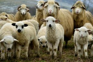 Миру не хватает овечьего молока для производства сыра