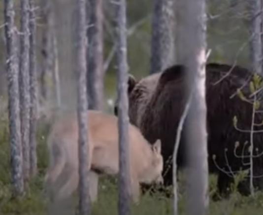 Видео: Волк защитил от собратьев друга-медведя