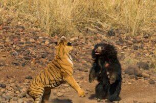 Смертельная схватка между бенгальским тигром и медведем-губачом попала на видео