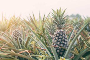 Стартап создал одноразовую посуду из ананасов. Если её положить в землю, из неё вырастет растение