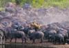 Львица погибла под копытами разъяренных буйволов: видео