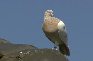 В Австралии отказались убивать голубя Джо