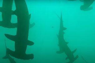 Дайвер случайно заплыла в стаю из 200 акул-молотов (видео)