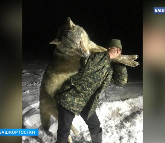 Огромного волка размером с взрослого человека застрелили в Башкирии