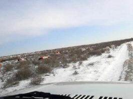 Замерзающие фламинго вышли на дорогу в Казахстане