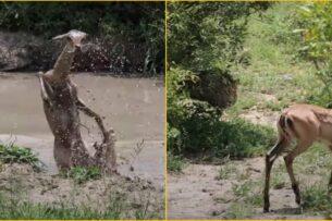 Антилопа сбежала из пасти крокодила в лапы леопарда: видео