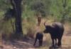Буйволица защищает детеныша от леопарда и льва: видео