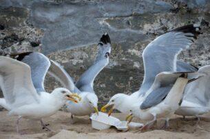 В Бахрейне чайки разленились. Они больше не хотят ловить рыбу и даже летать