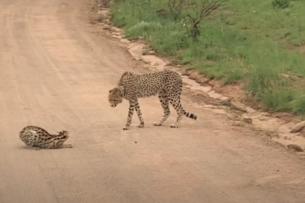 Противостояние дикой кошки и гепарда: видео