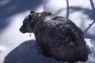 Cняли на камеру момент пробуждения гризли от спячки: медведь выходит из берлоги
