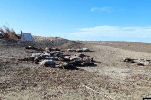 В пустынных районах Бухары овцы гибнут от голода из-за нехватки кормов