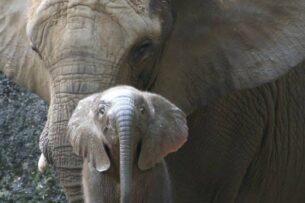 Бесстрашный слоненок защищает больную мать от незнакомцев: видео