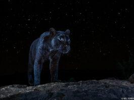 «Самое неуловимое животное» сфотографировали впервые за 100 лет