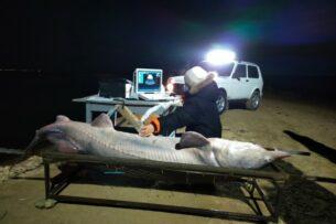 Гигантскую 150-килограммовую белугу поймали в Казахстане. Видео