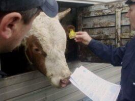 Из Омской области не дали вывезти в Кыргызстан 16 коров