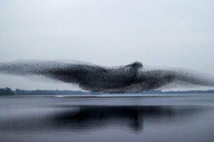 Стая скворцов образовала огромную птицу над озером: невероятная мурмурация