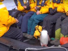 Пингвин спасся от косаток, запрыгнув в лодку к туристам (видео)
