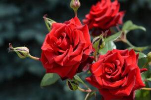 В Россию не пропустили 2 тыс. саженцев роз из Кыргызстана