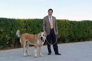 В Туркменистане ввели пайки для владельцев алабаев