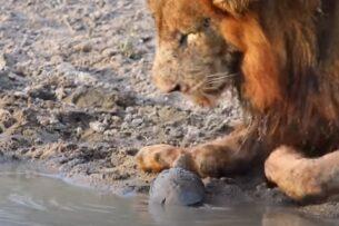 Кровожадная черепаха пошла против львов: видео