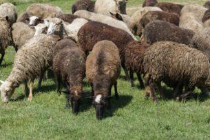 Разводить овец в Кыргызстане начали более 8 тысяч лет назад — исследование