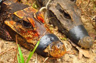 Пещерные крокодилы это настоящая сенсация в зоологии. Живут в едкой щёлочи и едят летучих мышей