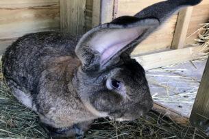 Похитили самого большого кролика в мире