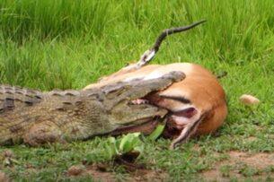 Чудесное спасение антилопы из пасти крокодила: видео