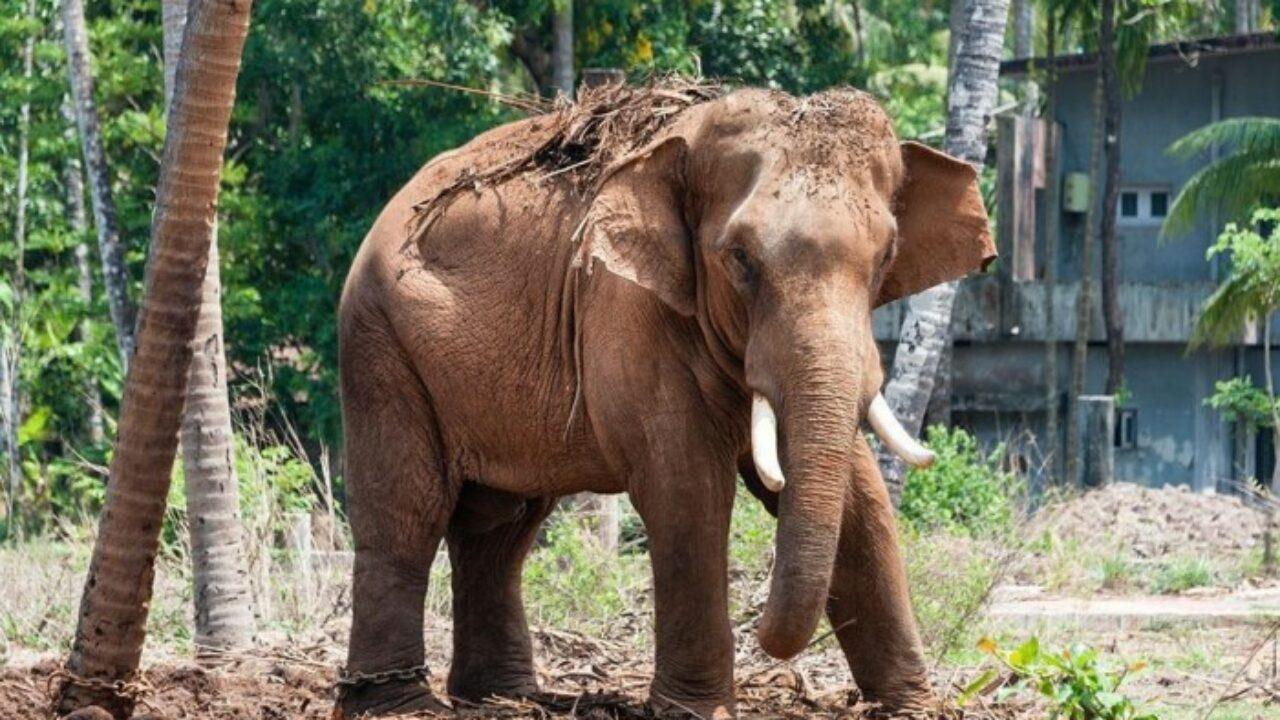 Кочующих диких слонов приманкой отводят вдаль от населенных пунктов Китая —  K-News