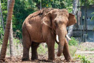 Кочующих диких слонов приманкой отводят вдаль от населенных пунктов Китая