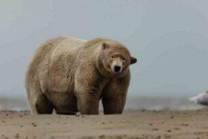 Толстяк Альберт — самый крупный белый медведь, и что с ним не так