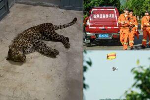 Китайский зоопарк неделями замалчивал побег трех леопардов