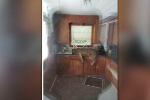 Пума проникла в дом американца и потеряла сознание в раковине