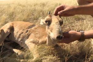 В Казахстане «утилизируют» краснокнижных сайгаков: живых хоронят вместе с мертвыми (видео)