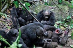 Омерзительная восьмерка. Как кланы шимпанзе развязали 4-летнюю гражданскую войну