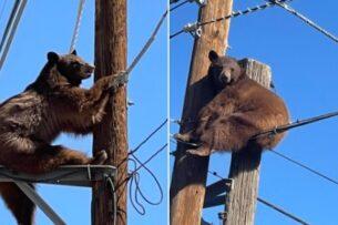 Как спасают застрявших на столбах медведей: видео