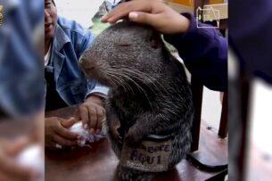 Пакарана — самая большая и обаятельная мышь на свете. Стоит ли его бояться?