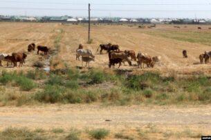 Туркменских фермеров заставляют сжигать солому, оставшуюся на полях после сбора пшеницы