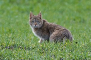 Дикие кошки из Китая оказались генетически не связаны с домашними