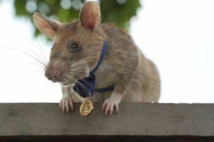 Крыса-сапер с почетом уходит на пенсию
