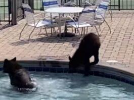 Медведи устроили вечеринку в комплексе с бассейнами и теннисным кортом: видео