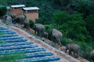 Стадо диких слонов наводит ужас на жителей китайской провинции (видео)