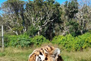 Тигр убил смотрителя парка и своего соседа ради обладания тигрицей