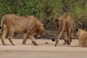 Воинственный краб загипнотизировал львов: видео
