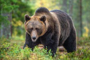 Выживший. Американца неделю преследовал медведь гризли