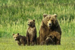 На дорогах Якутии завелась очень милая банда медведей-попрошаек