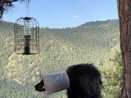 Спасение медведицы с ведром на голове: видео